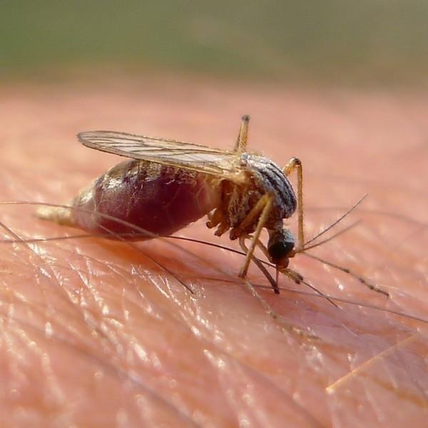 Repelentes naturales para mosquitos.